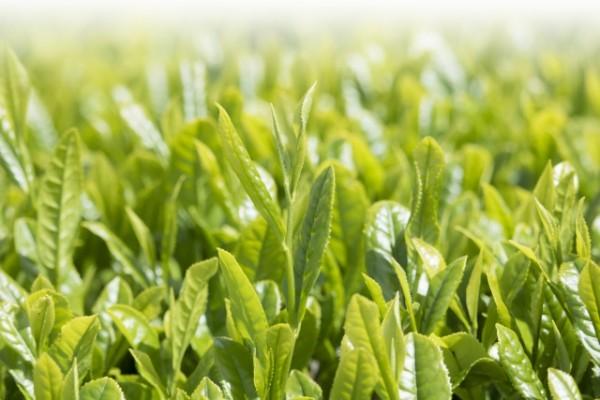 食べても美味しい茶葉レシピ!出がらし茶葉の活用法!
